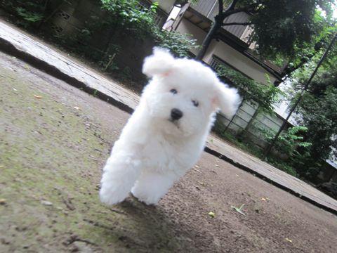 ビションフリーゼフントヒュッテ東京かわいいビション子犬関東こいぬ文京区ビションフリーゼ画像ビションフリーゼおんなのこメス子犬生まれてる都内Bichon Frise 570.jpg