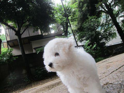 ビションフリーゼフントヒュッテ東京かわいいビション子犬関東こいぬ文京区ビションフリーゼ画像ビションフリーゼおんなのこメス子犬生まれてる都内Bichon Frise 571.jpg