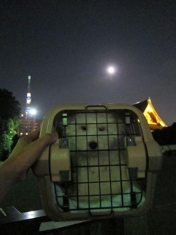 ビションフリーゼフントヒュッテ東京かわいいビション子犬関東こいぬ文京区ビションフリーゼ画像ビションフリーゼおんなのこメス子犬生まれてる都内Bichon Frise 576.jpg