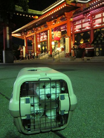 ビションフリーゼフントヒュッテ東京かわいいビション子犬関東こいぬ文京区ビションフリーゼ画像ビションフリーゼおんなのこメス子犬生まれてる都内Bichon Frise 577.jpg