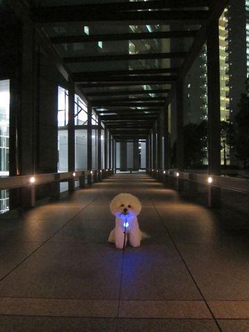 犬おあずかりペットホテル東京ビションフリーゼ犬ホテル料金フントヒュッテ文京区トリミングサロン都内ペットホテルおさんぽ関東ビショントリミング駒込67.jpg
