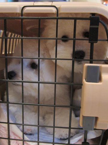 ビションフリーゼフントヒュッテ東京かわいいビション子犬関東こいぬ文京区ビションフリーゼ画像ビションフリーゼおんなのこメス子犬生まれてる都内Bichon Frise 589.jpg