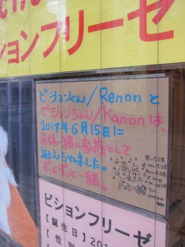 ビションフリーゼフントヒュッテ東京かわいいビション子犬関東こいぬ文京区ビションフリーゼ画像ビションフリーゼおんなのこメス子犬生まれてる都内Bichon Frise 590.jpg