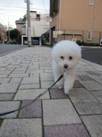 犬おあずかりペットホテル東京トイプードル駒込犬ホテル料金フントヒュッテ文京区トリミングサロン都内ペットホテル関東トイプードルトリミングモデル画像13.jpg