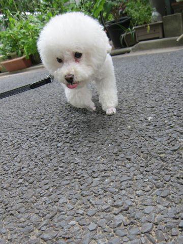 犬おあずかりペットホテル東京トイプードル駒込犬ホテル料金フントヒュッテ文京区トリミングサロン都内ペットホテル関東トイプードルトリミングモデル画像18.jpg