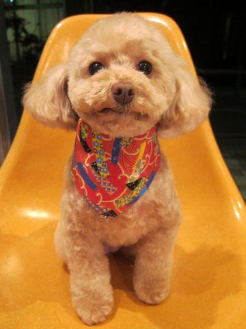 トイプードルトリミング文京区フントヒュッテ都内トリミングサロン東京かわいいトイプードル画像トイプードルカット画像駒込犬カットモデル関東Toy Poodle1.jpg