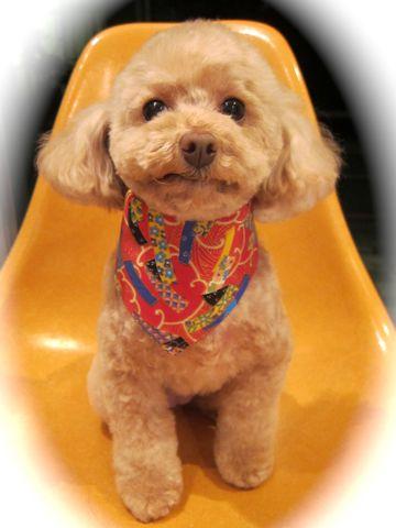 トイプードルトリミング文京区フントヒュッテ都内トリミングサロン東京かわいいトイプードル画像トイプードルカット画像駒込犬カットモデル関東Toy Poodle2.jpg
