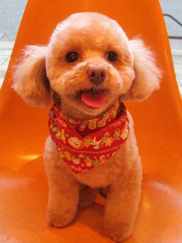 トイプードルトリミング文京区フントヒュッテ都内トリミングサロン東京かわいいトイプードル画像トイプードルカット画像駒込犬カットモデル関東Toy Poodle3.jpg