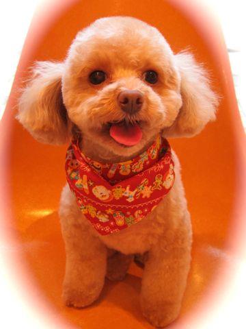 トイプードルトリミング文京区フントヒュッテ都内トリミングサロン東京かわいいトイプードル画像トイプードルカット画像駒込犬カットモデル関東Toy Poodle4.jpg