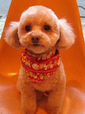トイプードルトリミング文京区フントヒュッテ都内トリミングサロン東京かわいいトイプードル画像トイプードルカット画像駒込犬カットモデル関東Toy Poodle5.jpg