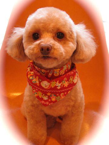 トイプードルトリミング文京区フントヒュッテ都内トリミングサロン東京かわいいトイプードル画像トイプードルカット画像駒込犬カットモデル関東Toy Poodle6.jpg