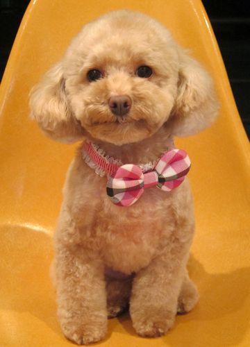 トイプードルトリミング文京区フントヒュッテ都内トリミングサロン東京かわいいトイプードル画像トイプードルカット画像駒込犬カットモデル関東Toy Poodle11.jpg