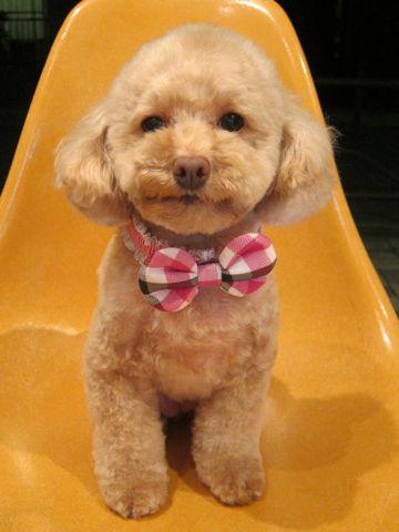 トイプードルトリミング文京区フントヒュッテ都内トリミングサロン東京かわいいトイプードル画像トイプードルカット画像駒込犬カットモデル関東Toy Poodle12.jpg