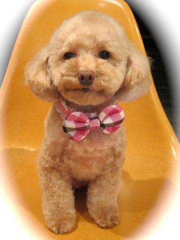 トイプードルトリミング文京区フントヒュッテ都内トリミングサロン東京かわいいトイプードル画像トイプードルカット画像駒込犬カットモデル関東Toy Poodle13.jpg