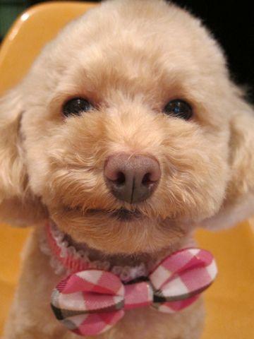 トイプードルトリミング文京区フントヒュッテ都内トリミングサロン東京かわいいトイプードル画像トイプードルカット画像駒込犬カットモデル関東Toy Poodle14.jpg