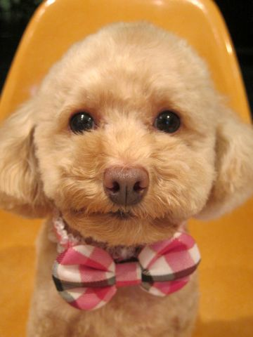 トイプードルトリミング文京区フントヒュッテ都内トリミングサロン東京かわいいトイプードル画像トイプードルカット画像駒込犬カットモデル関東Toy Poodle15.jpg