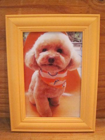 トイプードルトリミング文京区フントヒュッテ都内トリミングサロン東京かわいいトイプードル画像トイプードルカット画像駒込犬カットモデル関東Toy Poodle16.jpg