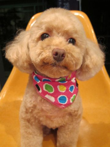 トイプードルトリミング文京区フントヒュッテ都内トリミングサロン東京かわいいトイプードル画像トイプードルカット画像駒込犬カットモデル関東Toy Poodle24.jpg