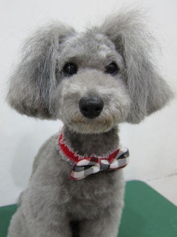 トイ・プードルトリミング文京区フントヒュッテトイプードルカットモデル画像かわいいトイプードルカット東京トイプードルシルバー関東ハーブパック犬2.jpg