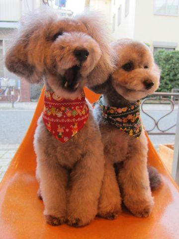 トイ・プードルトリミング文京区フントヒュッテトイプードルカットモデル画像かわいいトイプードルカット東京トイプードルシルバー関東ハーブパック犬11.jpg