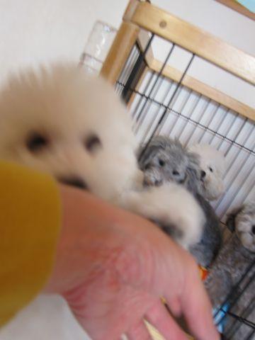 トイ・プードルトリミング文京区フントヒュッテトイプードルカットモデル画像かわいいトイプードルカット東京トイプードルシルバー関東ハーブパック犬24.jpg