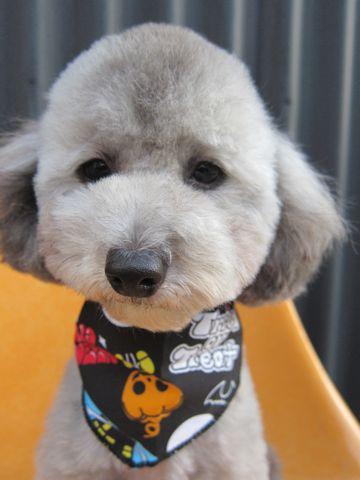 トイ・プードルトリミング文京区フントヒュッテトイプードルカットモデル画像かわいいトイプードルカット東京トイプードルシルバー関東ハーブパック犬37.jpg