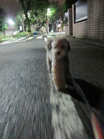 トイプードルトリミング文京区フントヒュッテトイプードルデザインカットモデル東京トイプーモヒカンカット画像トイプードルシルバー犬ハーブパック49.jpg