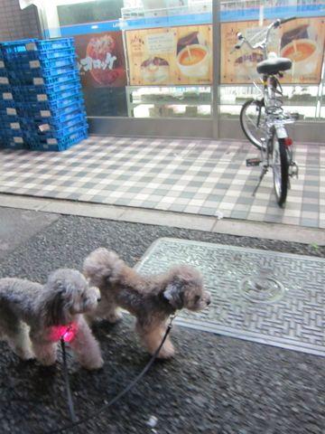 トイプードルトリミング文京区フントヒュッテトイプードルデザインカットモデル東京トイプーモヒカンカット画像トイプードルシルバー犬ハーブパック52.jpg