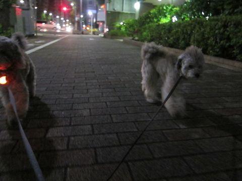 トイプードルトリミング文京区フントヒュッテトイプードルデザインカットモデル東京トイプーモヒカンカット画像トイプードルシルバー犬ハーブパック55.jpg