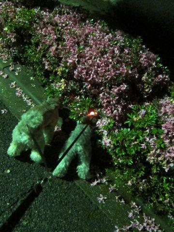 トイプードルトリミング文京区フントヒュッテトイプードルデザインカットモデル東京トイプーモヒカンカット画像トイプードルシルバー犬ハーブパック60.jpg
