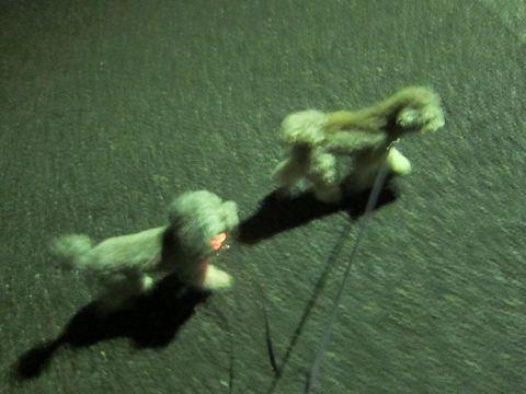 トイプードルトリミング文京区フントヒュッテトイプードルデザインカットモデル東京トイプーモヒカンカット画像トイプードルシルバー犬ハーブパック62.jpg