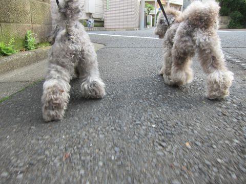 トイプードルトリミング文京区フントヒュッテトイプードルデザインカットモデル東京トイプーモヒカンカット画像トイプードルシルバー犬ハーブパック64.jpg