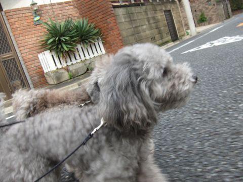 トイプードルトリミング文京区フントヒュッテトイプードルデザインカットモデル東京トイプーモヒカンカット画像トイプードルシルバー犬ハーブパック65.jpg