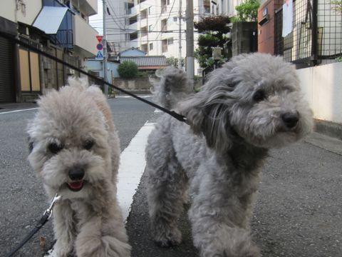 トイプードルトリミング文京区フントヒュッテトイプードルデザインカットモデル東京トイプーモヒカンカット画像トイプードルシルバー犬ハーブパック70.jpg