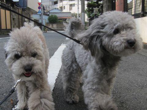 トイプードルトリミング文京区フントヒュッテトイプードルデザインカットモデル東京トイプーモヒカンカット画像トイプードルシルバー犬ハーブパック71.jpg