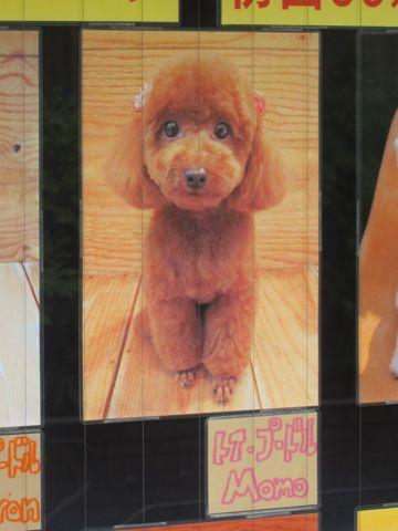 トリミング文京区フントヒュッテ東京ビションフリーゼカットスタイル画像トイプードルカットモデル関東ダックスサマーカットポメ柴犬カットペキニーズカット14.jpg