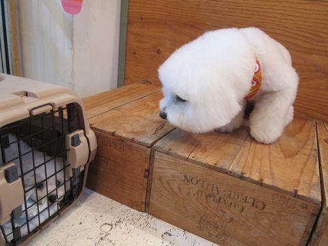 ビションフリーゼこいぬ子犬フントヒュッテ東京かわいいビションフリーゼ関東ビション文京区ビションフリーゼ画像ビションフリーゼおんなのこ姉妹メス子犬_7.jpg