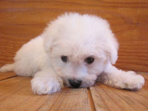 ビションフリーゼこいぬ子犬フントヒュッテ東京かわいいビションフリーゼ関東ビション文京区ビションフリーゼ画像ビションフリーゼおんなのこ姉妹メス子犬_10.jpg