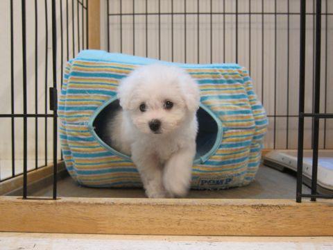 ビションフリーゼこいぬ子犬フントヒュッテ東京かわいいビションフリーゼ関東ビション文京区ビションフリーゼ画像ビションフリーゼおんなのこ姉妹メス子犬_20.jpg