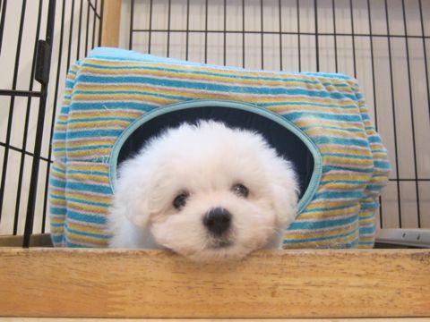 ビションフリーゼこいぬ子犬フントヒュッテ東京かわいいビションフリーゼ関東ビション文京区ビションフリーゼ画像ビションフリーゼおんなのこ姉妹メス子犬_21.jpg