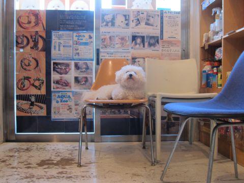 ビションフリーゼこいぬ子犬フントヒュッテ東京かわいいビションフリーゼ関東ビション文京区ビションフリーゼ画像ビションフリーゼおんなのこ姉妹メス子犬_37.jpg