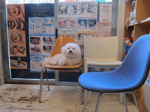 ビションフリーゼこいぬ子犬フントヒュッテ東京かわいいビションフリーゼ関東ビション文京区ビションフリーゼ画像ビションフリーゼおんなのこ姉妹メス子犬_38.jpg