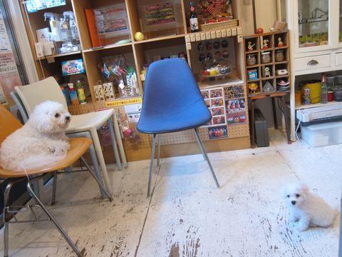 ビションフリーゼこいぬ子犬フントヒュッテ東京かわいいビションフリーゼ関東ビション文京区ビションフリーゼ画像ビションフリーゼおんなのこ姉妹メス子犬_40.jpg