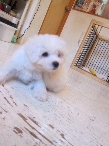 ビションフリーゼこいぬ子犬フントヒュッテ東京かわいいビションフリーゼ関東ビション文京区ビションフリーゼ画像ビションフリーゼおんなのこ姉妹メス子犬_41.jpg