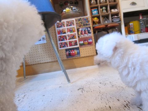 ビションフリーゼこいぬ子犬フントヒュッテ東京かわいいビションフリーゼ関東ビション文京区ビションフリーゼ画像ビションフリーゼおんなのこ姉妹メス子犬_42.jpg
