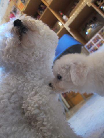ビションフリーゼこいぬ子犬フントヒュッテ東京かわいいビションフリーゼ関東ビション文京区ビションフリーゼ画像ビションフリーゼおんなのこ姉妹メス子犬_45.jpg
