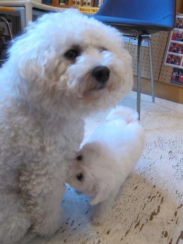 ビションフリーゼこいぬ子犬フントヒュッテ東京かわいいビションフリーゼ関東ビション文京区ビションフリーゼ画像ビションフリーゼおんなのこ姉妹メス子犬_47.jpg