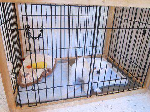ビションフリーゼこいぬ子犬フントヒュッテ東京かわいいビションフリーゼ関東ビション文京区ビションフリーゼ画像ビションフリーゼおんなのこ姉妹メス子犬_53.jpg