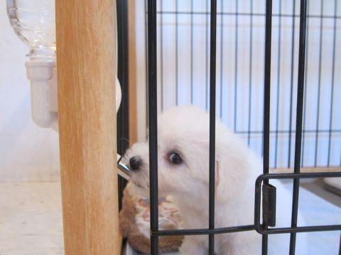 ビションフリーゼこいぬ子犬フントヒュッテ東京かわいいビションフリーゼ関東ビション文京区ビションフリーゼ画像ビションフリーゼおんなのこ姉妹メス子犬_55.jpg