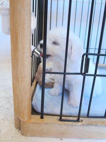 ビションフリーゼこいぬ子犬フントヒュッテ東京かわいいビションフリーゼ関東ビション文京区ビションフリーゼ画像ビションフリーゼおんなのこ姉妹メス子犬_56.jpg